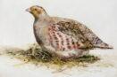 [R] Partridge